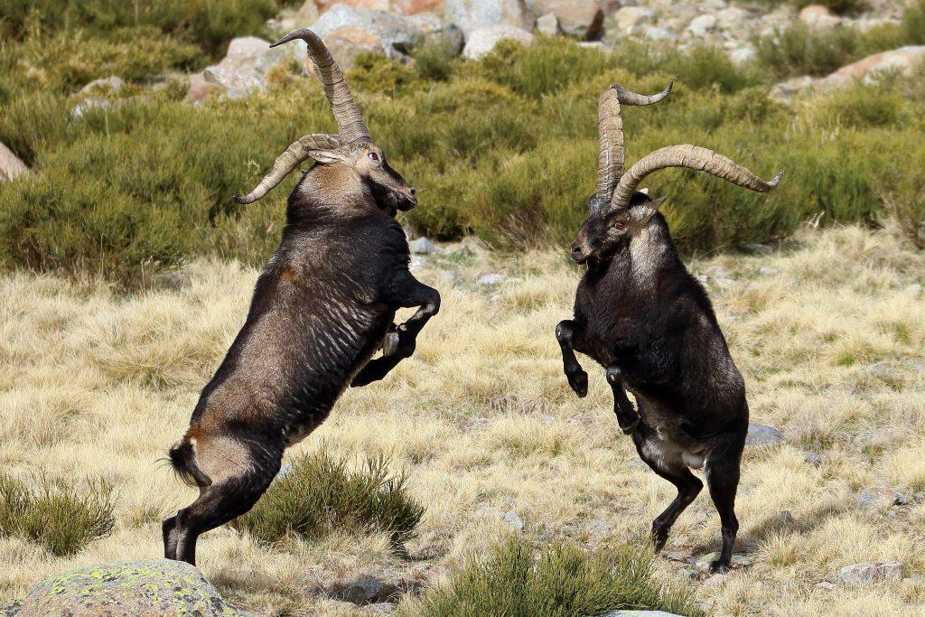 Machos de cabra montesa en la Sierra de Gredos peleando